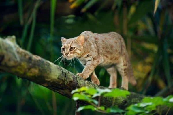 Ржавая кошка красивое фото