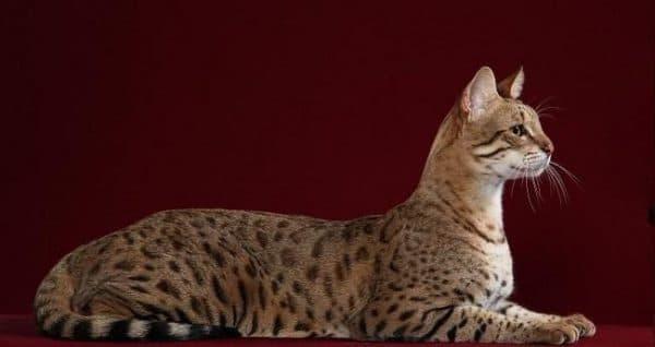 Сафари кошка красивое фото
