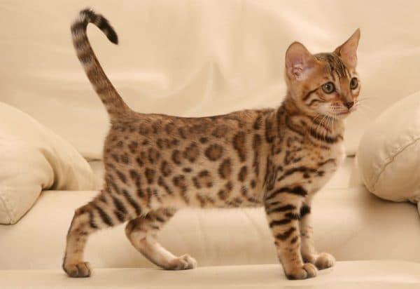 Сафари кошка особенности питания