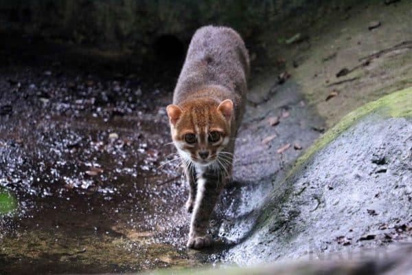 Суматранская кошечка