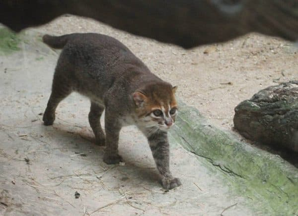Суматранская кошка описание
