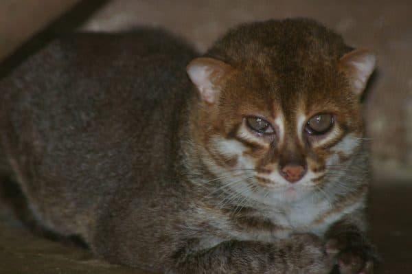 Суматранская кошка. Содержание и кормление