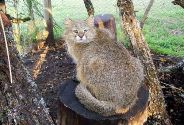 Удивительная пампасская кошка