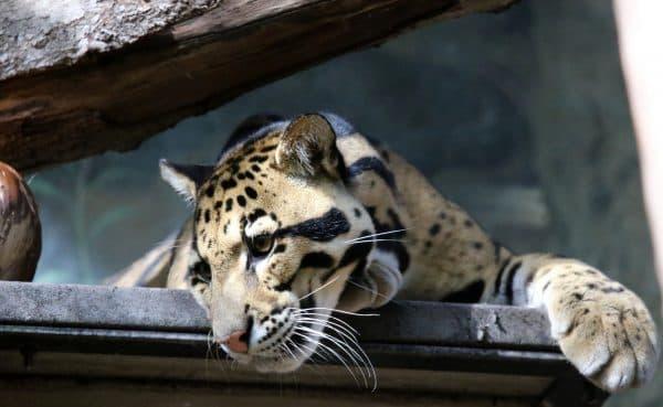 Удивительный дымчатый леопард