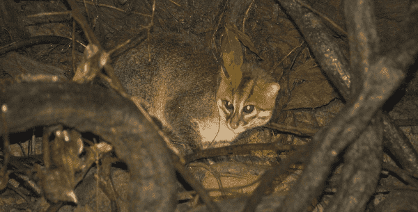 Восхитительная суматранская кошка