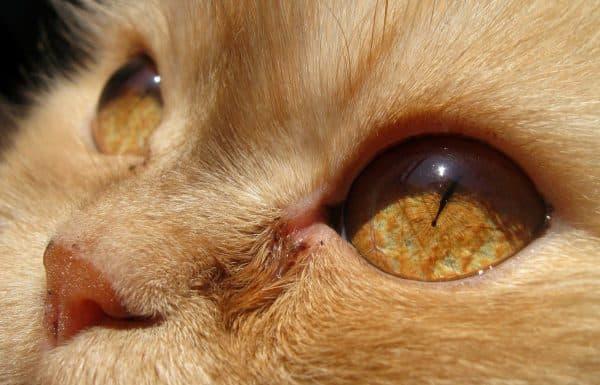 Возможные причины сужения зрачков у кошки