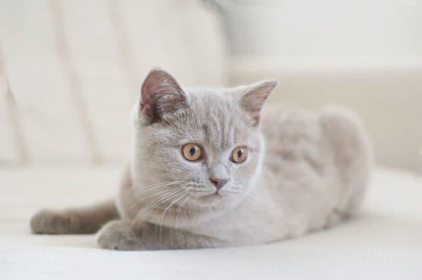 Вязка британских кошек читайте статью