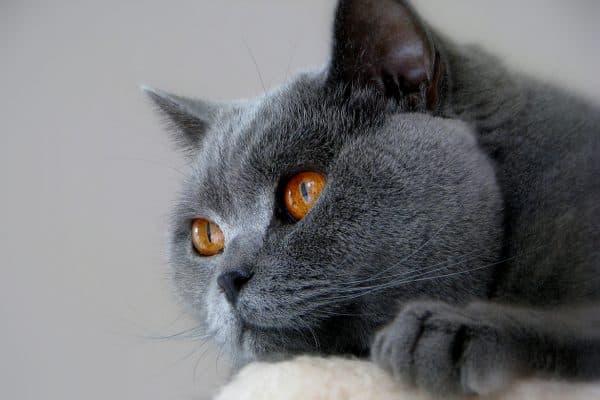 Вязка британских кошек. Правила
