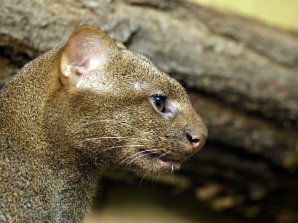 Ягуарунди. Охрана вида