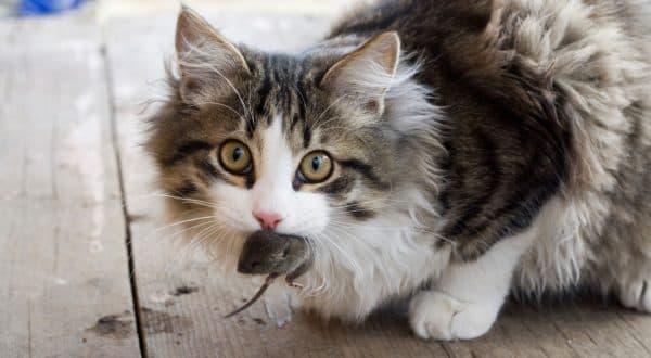 Зачем кошки несут убитых животных домой читайте статью