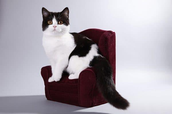 Черно-белая британская кошка