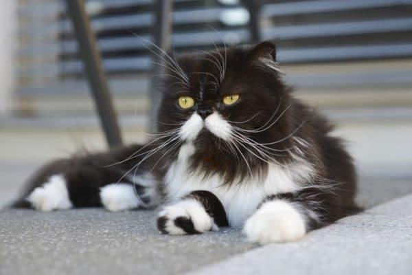 Черно-белая персидская кошка