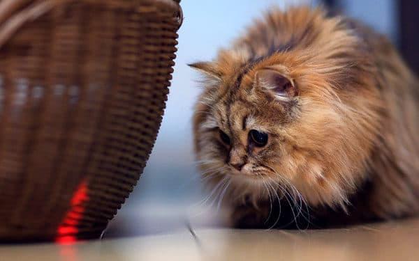 Персидская кошка табби
