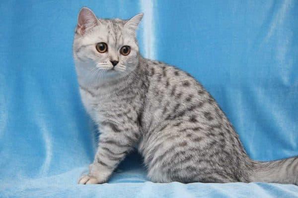 Пятнистый окрас кошки