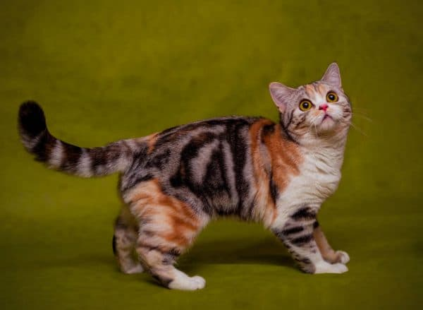У каких кошек встречается окрас табби