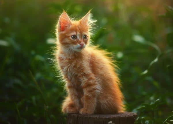 К чему снится рыжий котенок читайте статью