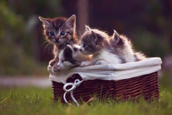 К чему снятся маленькие котята женщине