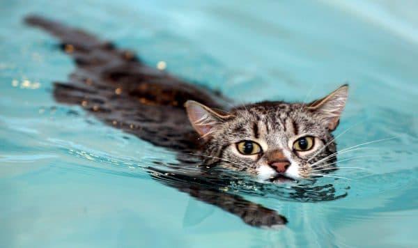 Кошки и коты которые любят воду читайте статью