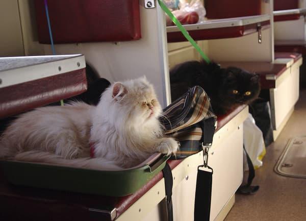 Как перевозить кошку в поезде читайте статью