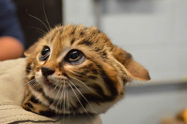 Кошка прижимает уши