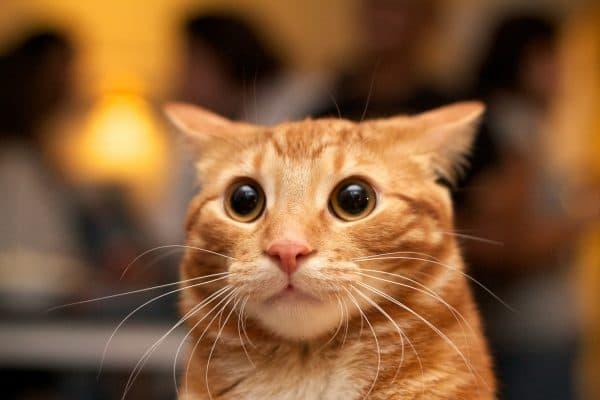 Кошка прижимает уши причины