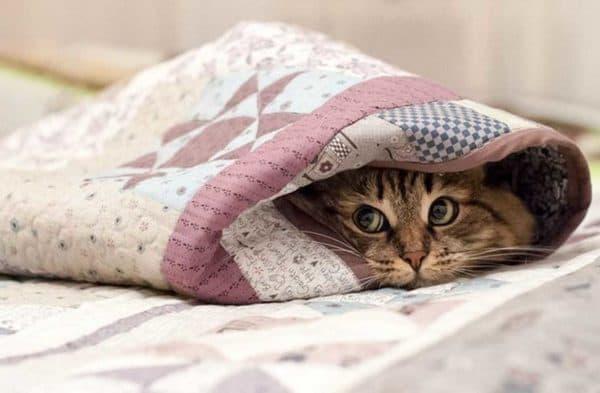 Почему кошка прячется под одеяло читайте статью