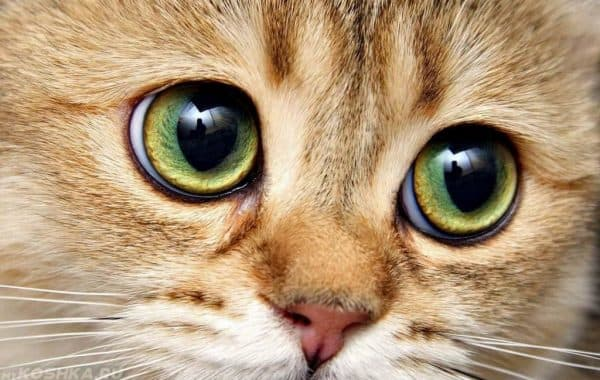 Почему у кошки расширенные зрачки