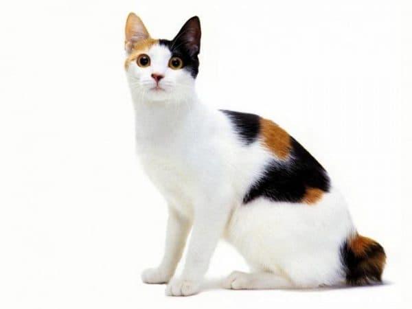 Приметы с трехцветными кошками в разных странах
