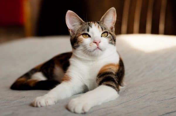 Трехцветная кошка. Приметы