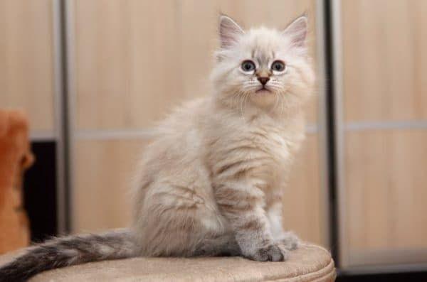 Чем кормить невского маскарадного котенка