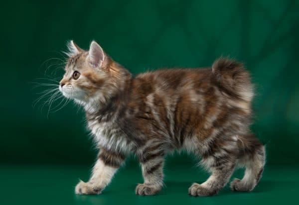 Кормление котенка курильского бобтейла