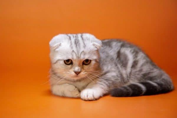 Кормление шотландского вислоухого котенка