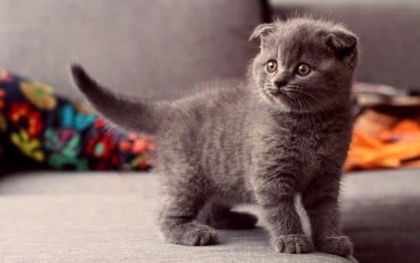 Правила кормления шотландского вислоухого котенка