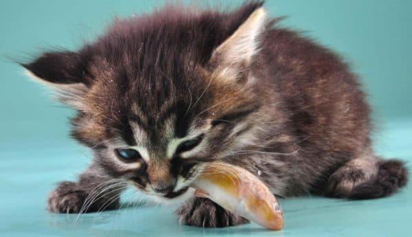 Прикорм котят. С какого возраста и чем подкармливать