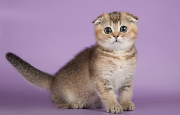 Рацион по месяцам для шотландского вислоухого котенка
