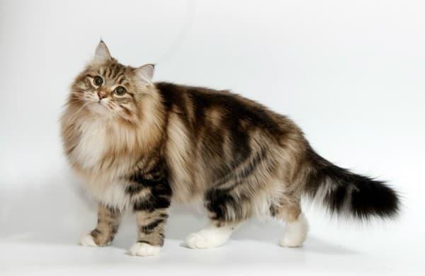 Сибирская кошка мраморный окрас