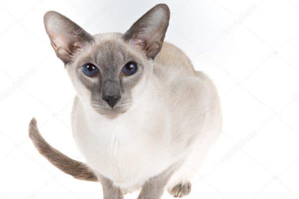 Сиамская кошка блю