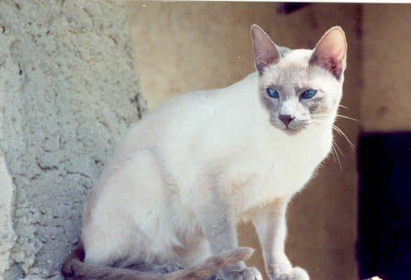 Сиамская кошка лайлак