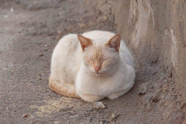Сиамская кошка ред-поинт