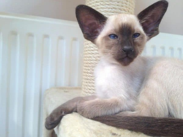 Сиамская кошка сил-поинт
