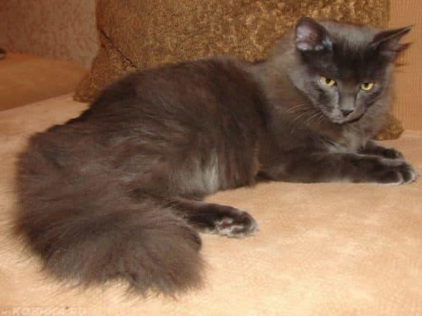 Голубой сибирский кот