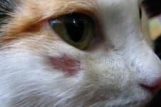Стригущий лишай у кошек, котов и котят