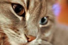 Кошки с разными глазами. Гетерохромия (разные глаза) у кошек