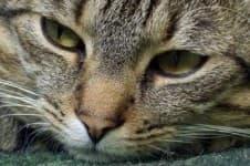 Мастит у кошки