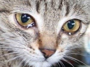 Слезится глаз у котенка