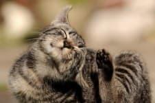 Чесотка (демодекоз) у кошек