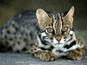 Сколько стоит кошка ашера