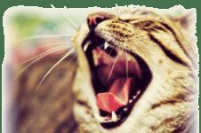 Зубной камень у кошек