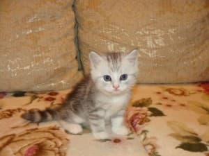 Котенок скоттиш-страйт