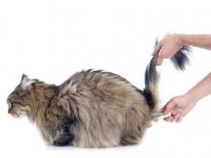 Как измерить температуру у кошки